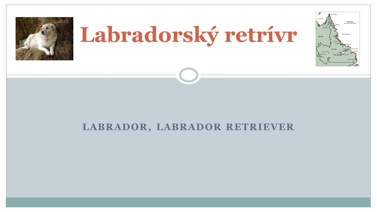 LABRADOR, LABRADOR RETRIEVER Labradorský retrívr