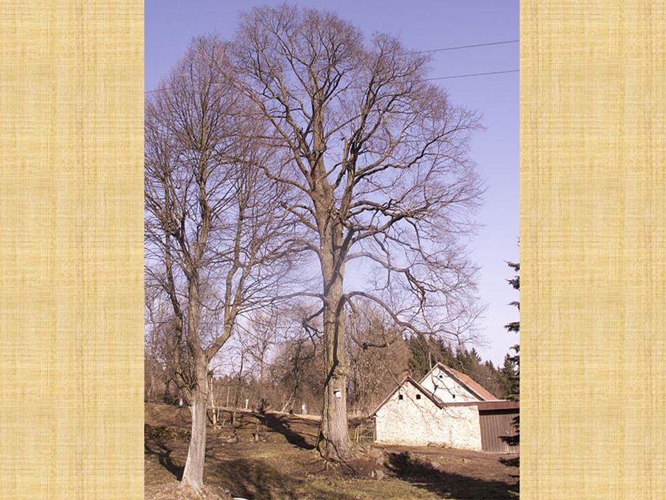 Jilm horský Ulmus glabra Kořenový systém: všestranně vyvinutý kořenový systém, často směřují kořeny nejdřív po povrchu, později se dostávají do hloubky a strom dobře kotví v zemi Kůra: hladká, hnědošedá jen málo rozdělená do šupin a potrhaná Letorosty: tlusté, hnědočervené, s tuhými, krátkými chlupy