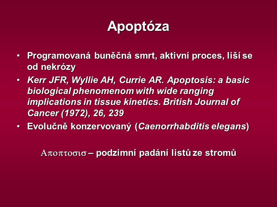 Apoptóza Programovaná buněčná smrt, aktivní proces, liší se od nekrózyProgramovaná buněčná smrt, aktivní proces, liší se od nekrózy Kerr JFR, Wyllie A