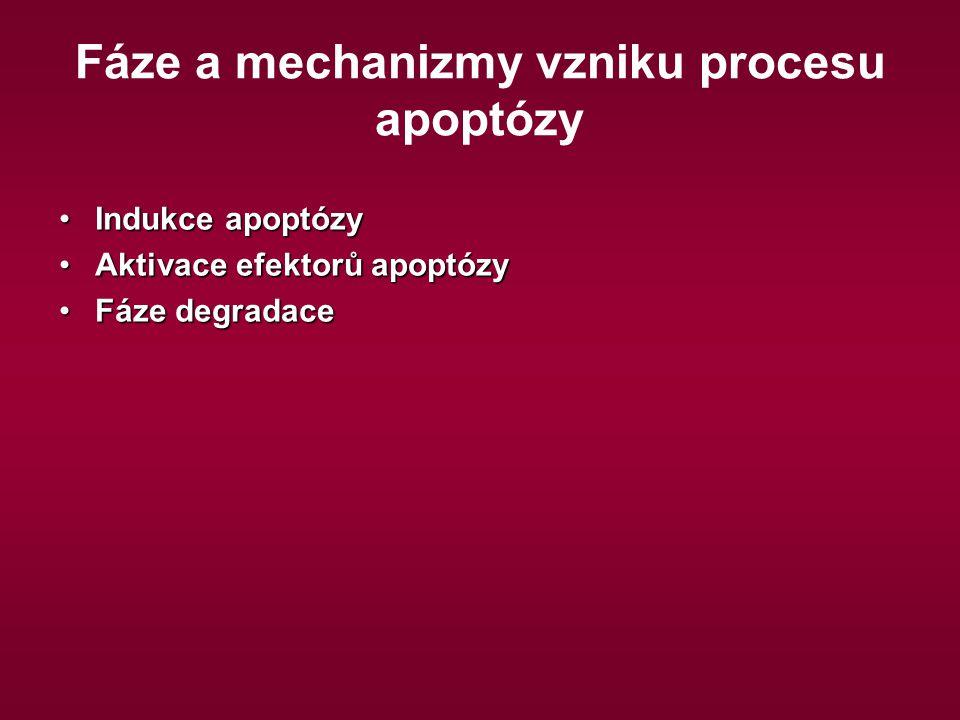 Fáze a mechanizmy vzniku procesu apoptózy Indukce apoptózyIndukce apoptózy Aktivace efektorů apoptózyAktivace efektorů apoptózy Fáze degradaceFáze deg