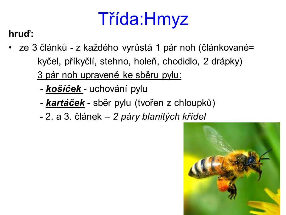 Třída:Hmyz hruď: ze 3 článků - z každého vyrůstá 1 pár noh (článkované= kyčel, příkyčlí, stehno, holeň, chodidlo, 2 drápky) 3 pár noh upravené ke sběr