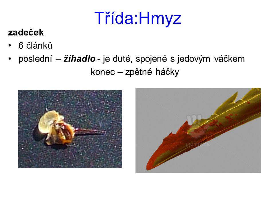 Třída:Hmyz zadeček 6 článků poslední – žihadlo - je duté, spojené s jedovým váčkem konec – zpětné háčky