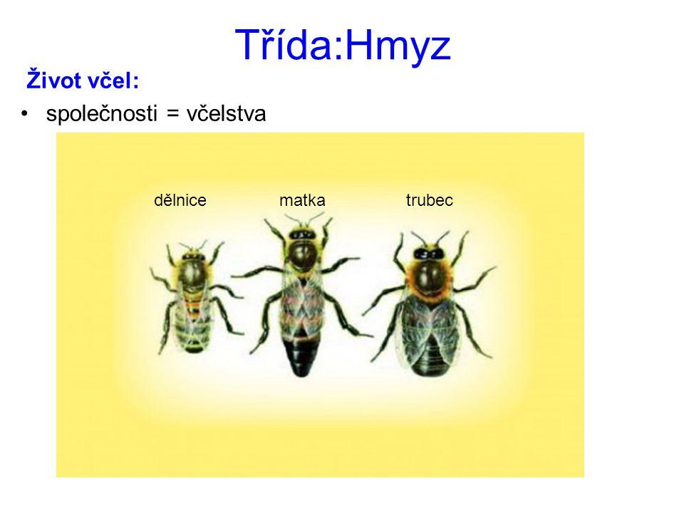 Třída:Hmyz Život včel: společnosti = včelstva dělnice matka trubec