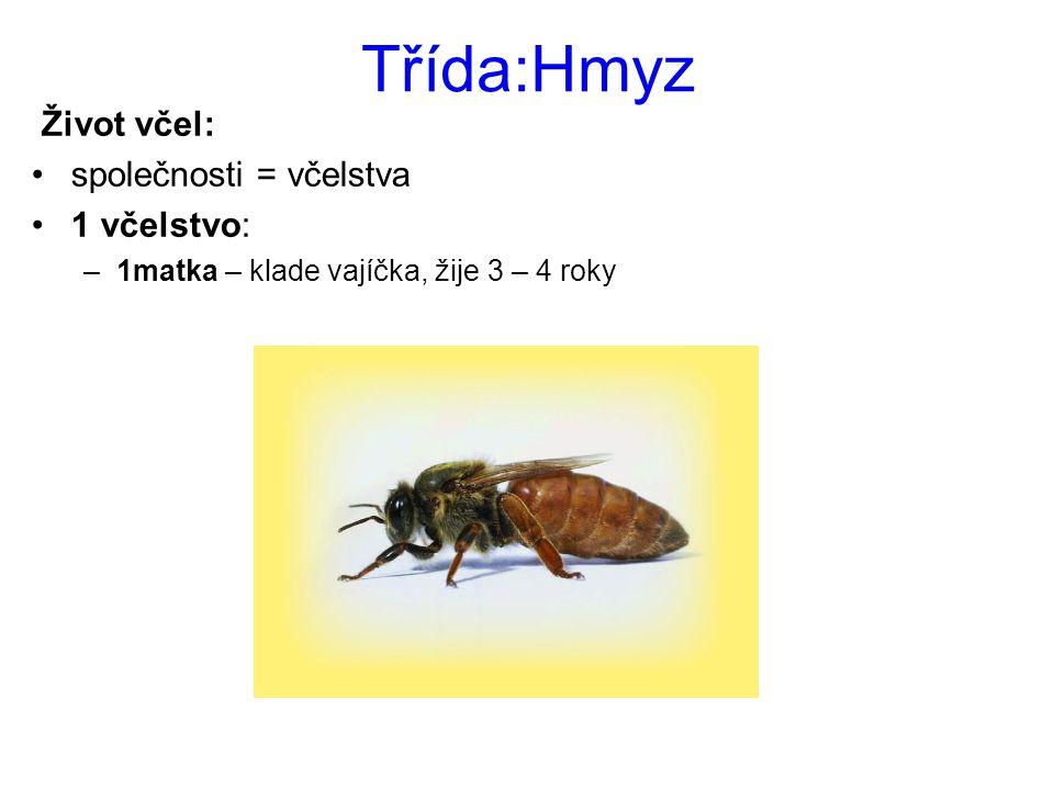 Třída:Hmyz Život včel: společnosti = včelstva 1 včelstvo: –1matka – klade vajíčka, žije 3 – 4 roky