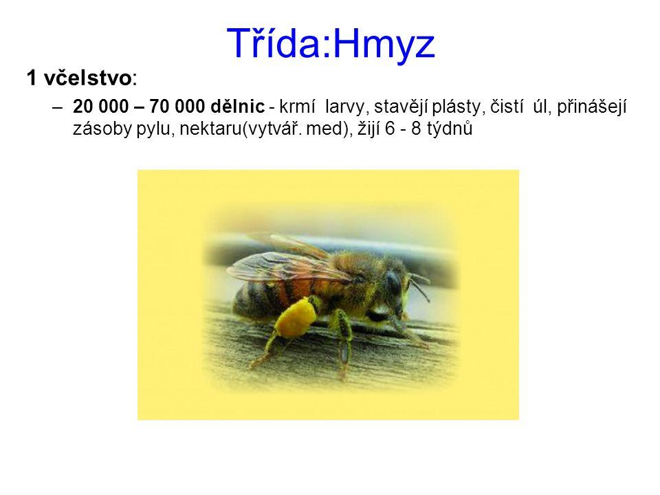 Třída:Hmyz 1 včelstvo: –20 000 – 70 000 dělnic - krmí larvy, stavějí plásty, čistí úl, přinášejí zásoby pylu, nektaru(vytvář. med), žijí 6 - 8 týdnů