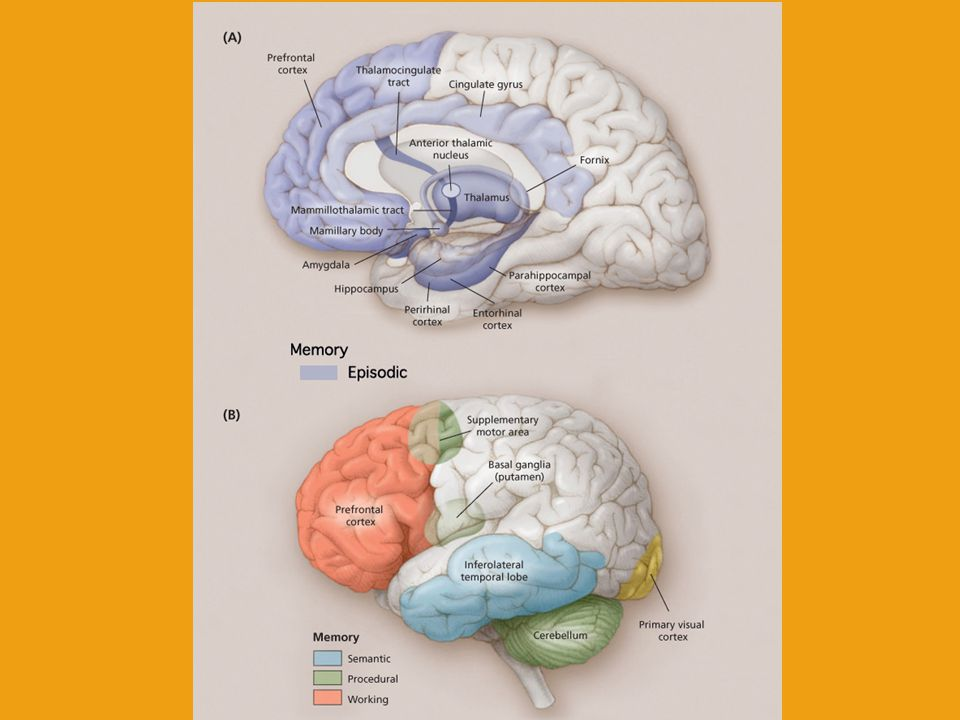 Neuroanatomical bases of the declarative/procedural memory systems Ventral stream – Storage of vizual and auditive information into LTM Hippocampal formation, entorhinal, perirhinal and parahippocampal corticies – Encoding, consolidation, and retreaval IFC - BA 45/47 – selection and retreaval Dorsal stream – Perceptual-motor integration Frontal/BG (nucleus caudatus) circuits BA 44 and IPC – Execution and observation of motor skills