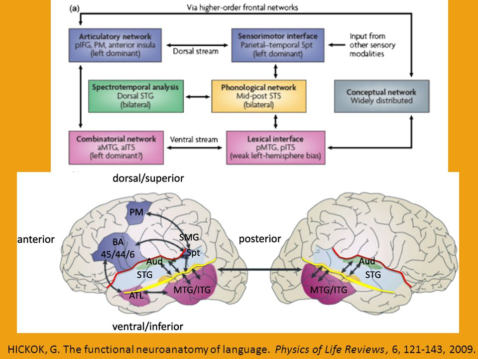 HICKOK, G. The functional neuroanatomy of language. Physics of Life Reviews, 6, 121-143, 2009.