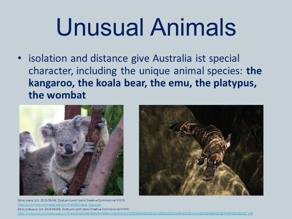 Unusual Animals isolation and distance give Australia ist special character, including the unique animal species: the kangaroo, the koala bear, the emu, the platypus, the wombat Zdroj koala: [cit.