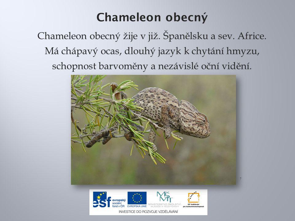 Chameleon obecný Chameleon obecný žije v již. Španělsku a sev.