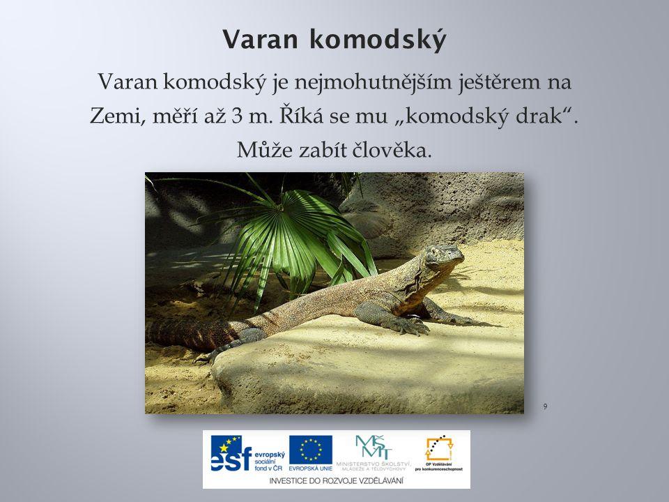 Varan komodský Varan komodský je nejmohutnějším ještěrem na Zemi, měří až 3 m.