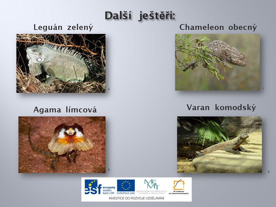 Další ješt ěř i: Další ješt ěř i: Leguán zelený Chameleon obecný 67 Agama límcová 8 9 Varan komodský