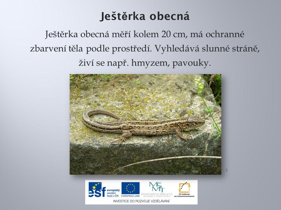 Ješt ě rka obecná Ještěrka obecná měří kolem 20 cm, má ochranné zbarvení těla podle prostředí.