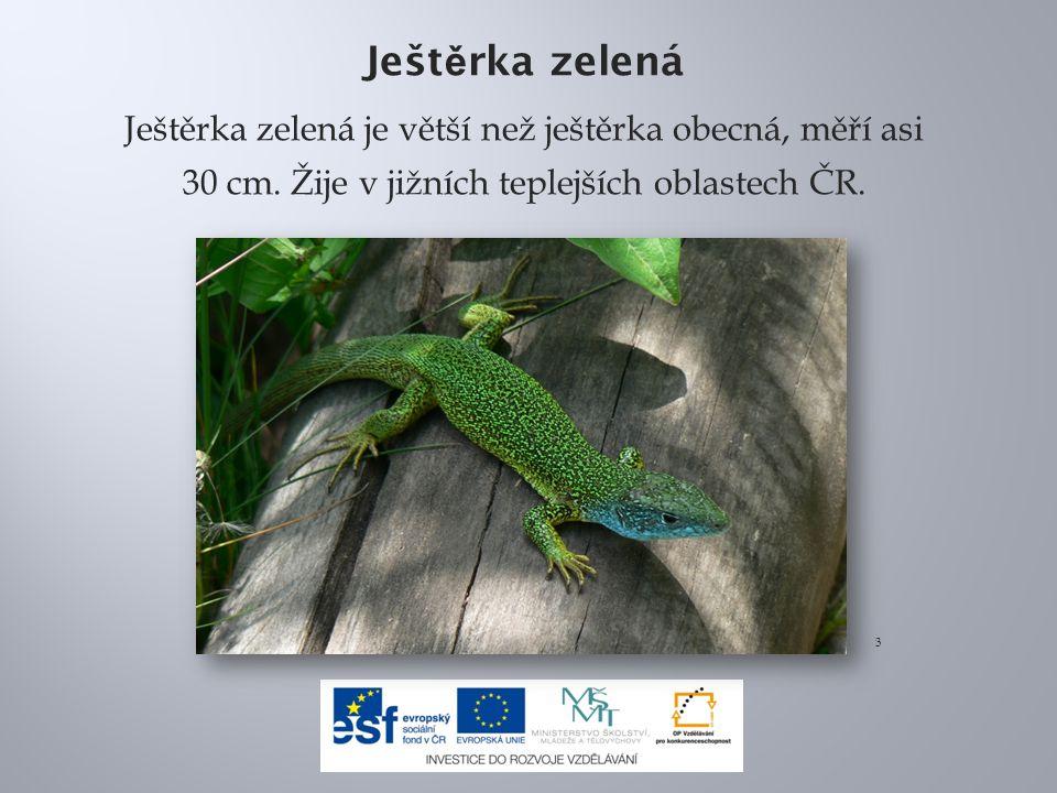 Ješt ě rka zelená Ještěrka zelená je větší než ještěrka obecná, měří asi 30 cm.