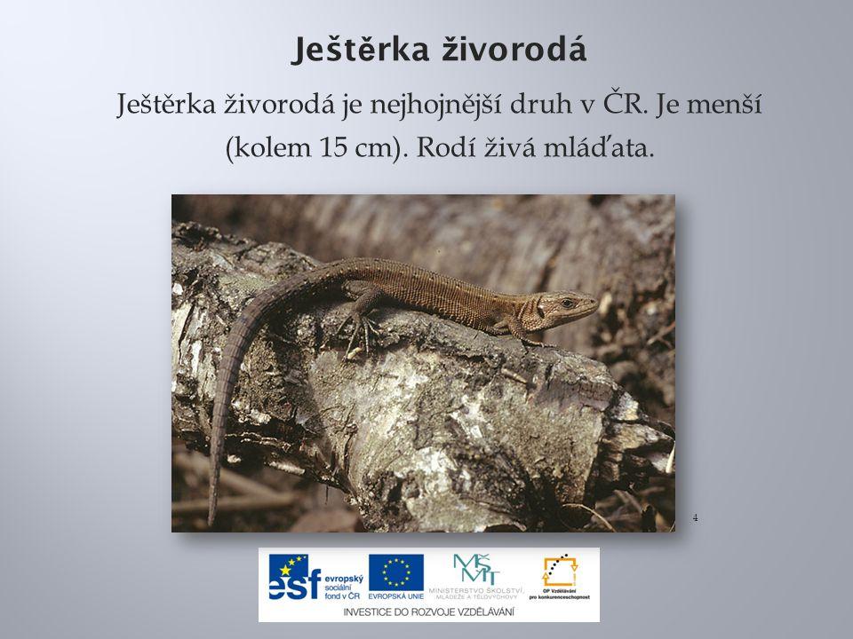 Ješt ě rka ž ivorodá Ještěrka živorodá je nejhojnější druh v ČR.