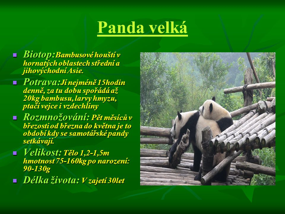 Panda velká  ZAJÍMAVOST: panda se denně věnuje 16 i více hodin přijímání potravy  Má nejsilnější stoličky ze všech šelem na světě  Na světě jich je asi 1000ks.