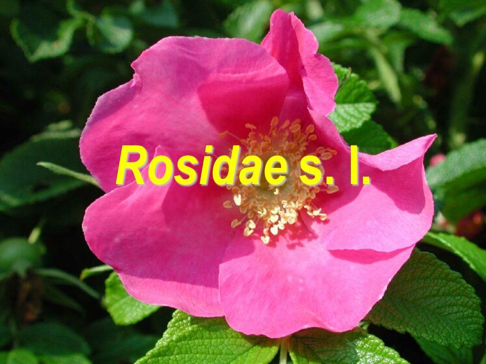 Rosidae s. l.