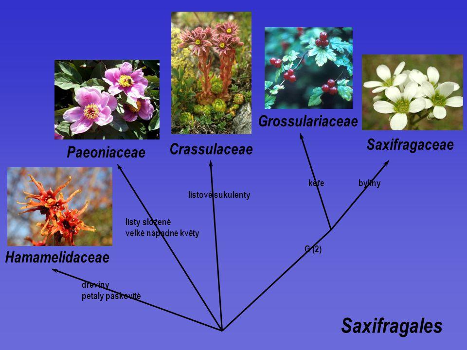 Saxifragales Saxifragaceae Grossulariaceae Hamamelidaceae Paeoniaceae Crassulaceae G (2) listové sukulenty dřeviny petaly páskovité listy složené velké nápadné květy keřebyliny