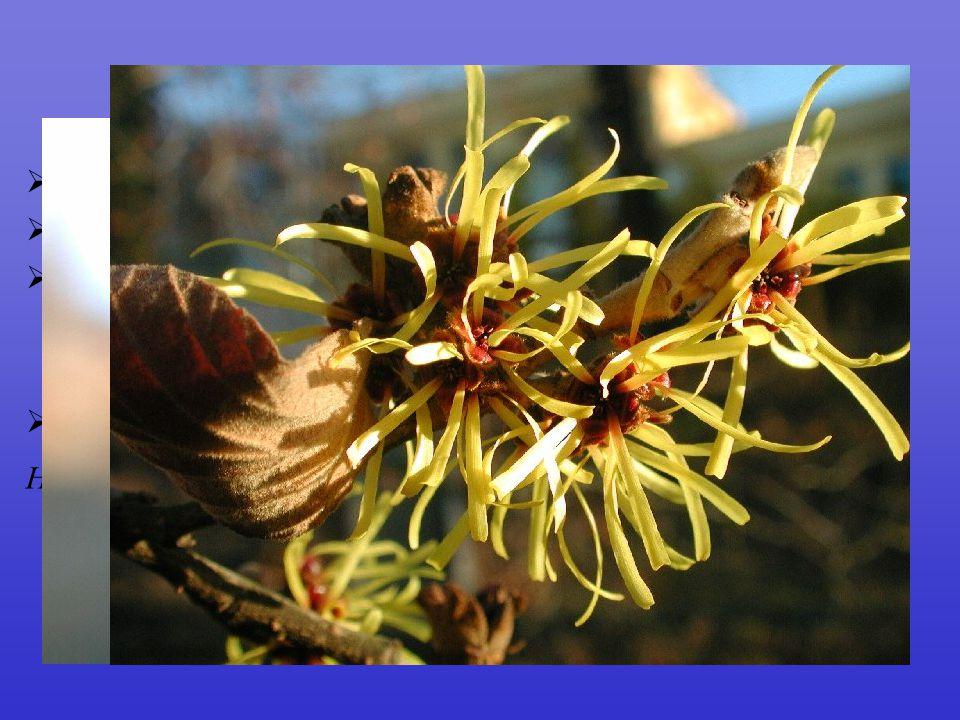 Hamamelidaceae  fosilní doklady již do křídy  25/100  C mnohdy ještě málo vyvinuté a zřetelná tendence k anemofilii  tobolky s větším počtem semen Hamamelis  dřeviny