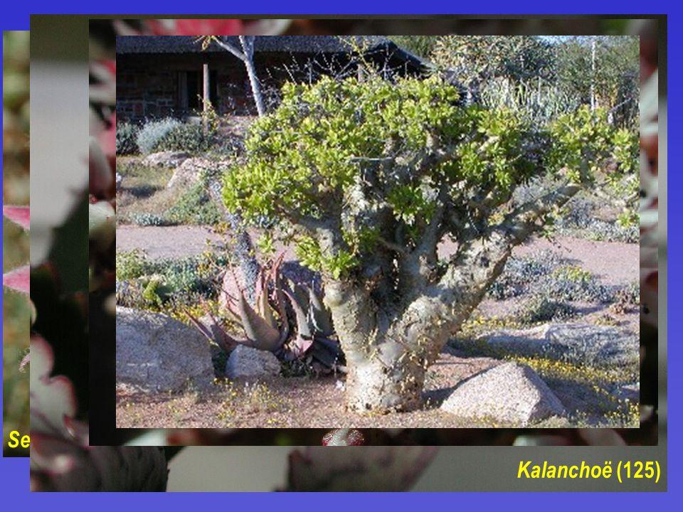 Crassulaceae  35/1500  byliny, listové sukulenty  G 5 a více, převážně apokarpní  plody převážně měchýřky Sempervivum (ca 30) Jovibarba (ca 20) Kalanchoë (125) Sedum (280) acre ( Hylotelephium )
