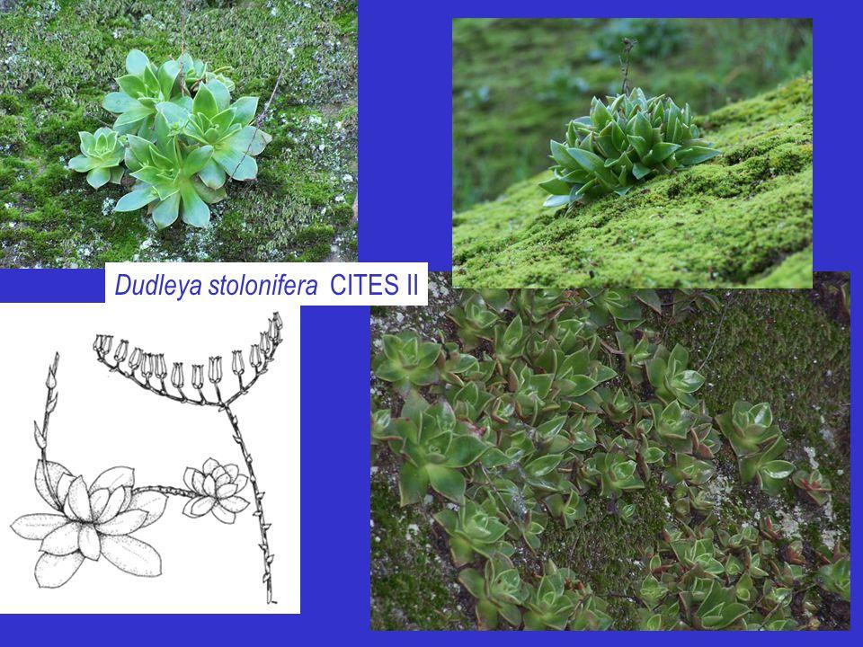 Dudleya stolonifera CITES II