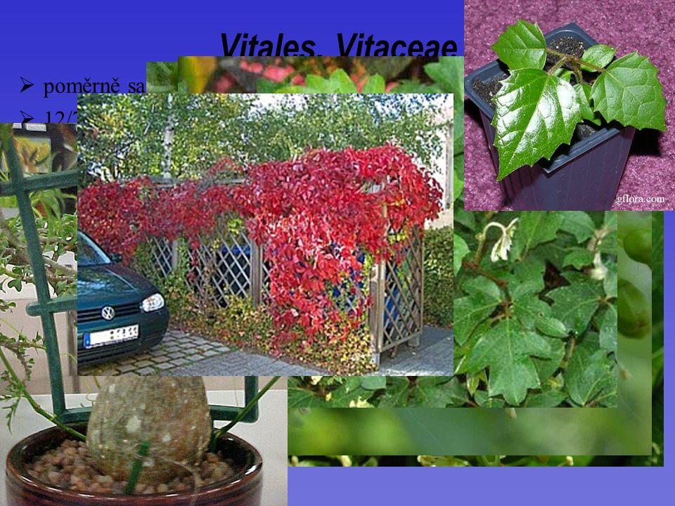 Vitis (60) vinifera Partenocissus (15)  12/700; široký areál, centrum diverzity tropy a subtropy Vitales, Vitaceae  poměrně samostatně stojící skupina  sympodiálně větvené liány  K+C (C prchavá)  bobule Cissus (300)  G (2)