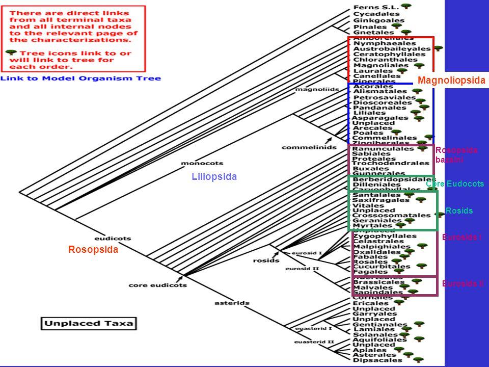 "Rosopsida (Eudicots) RanunculalesPapaverales Proteaneae Buxales Trochodendrales Dilleniales Santalales Saxifragales Vitales GeranialesMyrtalesEurosids IEurosids II CornalesEuasterids IEuasterids II Gunnerales Caryophyllales Polygonales Nepentales Core Eudicots (97%) Rosids Asterids Caryophyllidae Ranunculidae Rosidae ""Proteidae Ericaneae Asteridae"