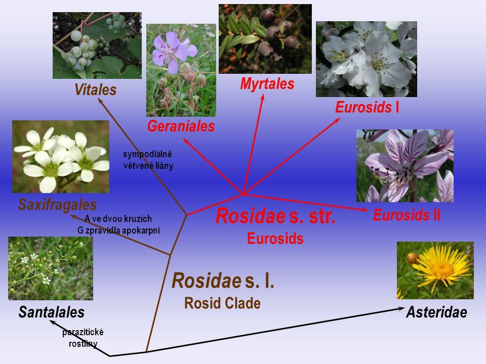 Grossulariaceae  1–2/150  často dřeviny  G spodní  bobule Grossularia uva-crispa Ribes sp.