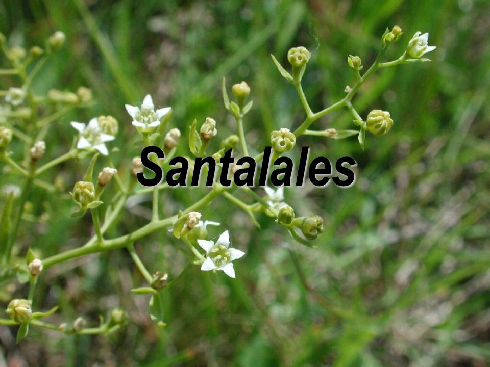  častý (polo)parazitismus (haustoria) Santalales  zřejmě monofyletická, poměrně izolovaná skupina, ne zcela jisté postavení  molekulární znaky  jednosemenné nepukavé plody  listy celistvé, zpravidla celokrajné  často spodní semeník
