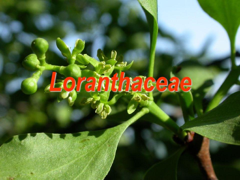Loranthaceae  74/900, pantropické rozšíření  zpravidla rostliny parazitické a epifytické  plody převážně bobule s jedním semenem s lepkavým obalem (osemení redukované) Viscaceae  7/550, pantropické rozšíření, avšak výskyt do mírného pásu Amyema (100) Viscum (130)