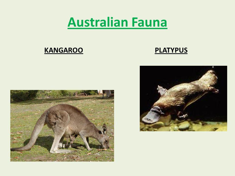 Australian Fauna KANGAROOPLATYPUS