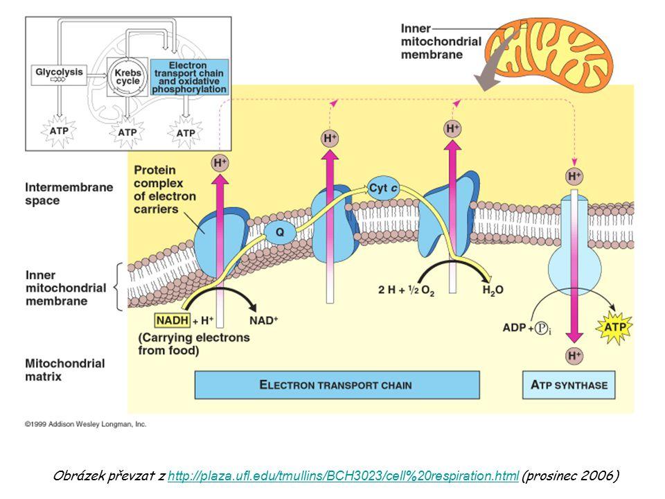 ATP-ADP translokáza Obrázek je převzat z učebnice: Devlin, T.