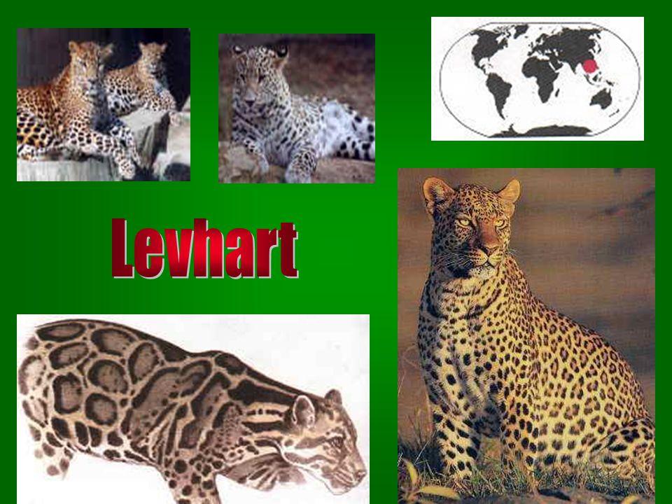 1 2 1. Jaguár americký 1. Jaguár americký – žije v Jižní Americe; výborně skáče, plíží a šplhá po stromech; rád pobývá u vody 2. Jaguár 2. Jaguár – če