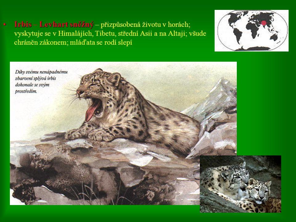 1. Levhart skvrnitý 1. Levhart skvrnitý – bývá často zaměňován s jinými šelmami; žije v Africe, Asii, Persii… 2. Levhart obláčkový 2. Levhart obláčkov