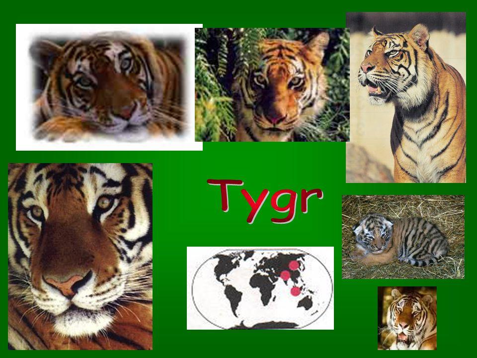 1. Pardál obláčkový 1. Pardál obláčkový – žije v Jižní Asii a Indonésii; měří asi 1m, dlouhý ocas a krátké nohy – žije na stromech 1 2 2. Gepard štíhl