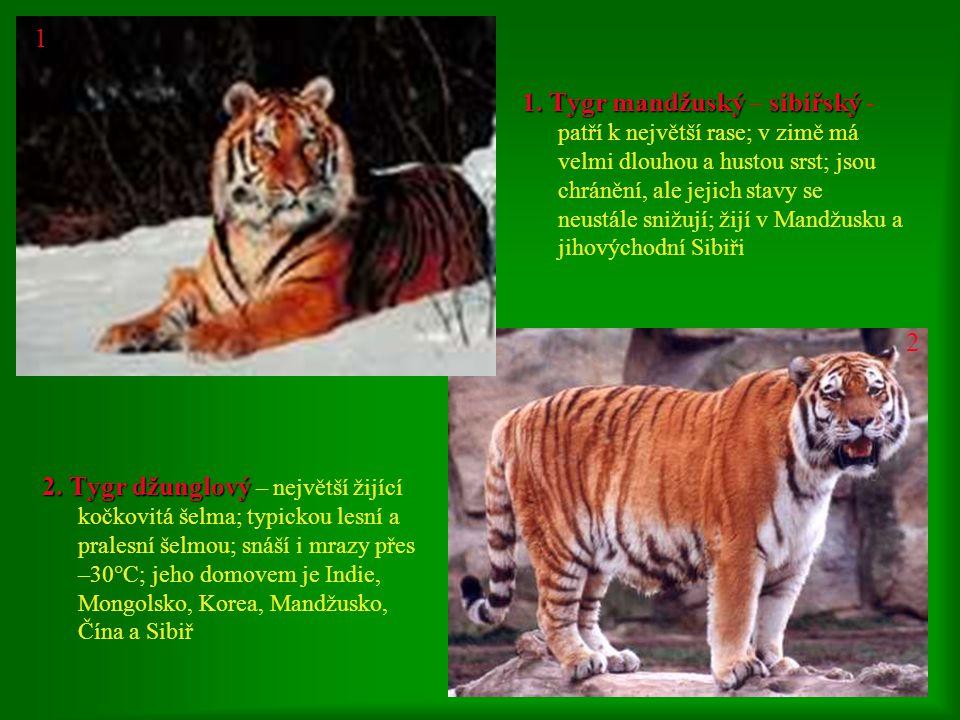 1. Tygr sumatránský 1. Tygr sumatránský – patří k nejmenším rasám mezi tygry; je nejdokonalejší a nejnebezpečnější šelma; odváží se napadnout i slona;