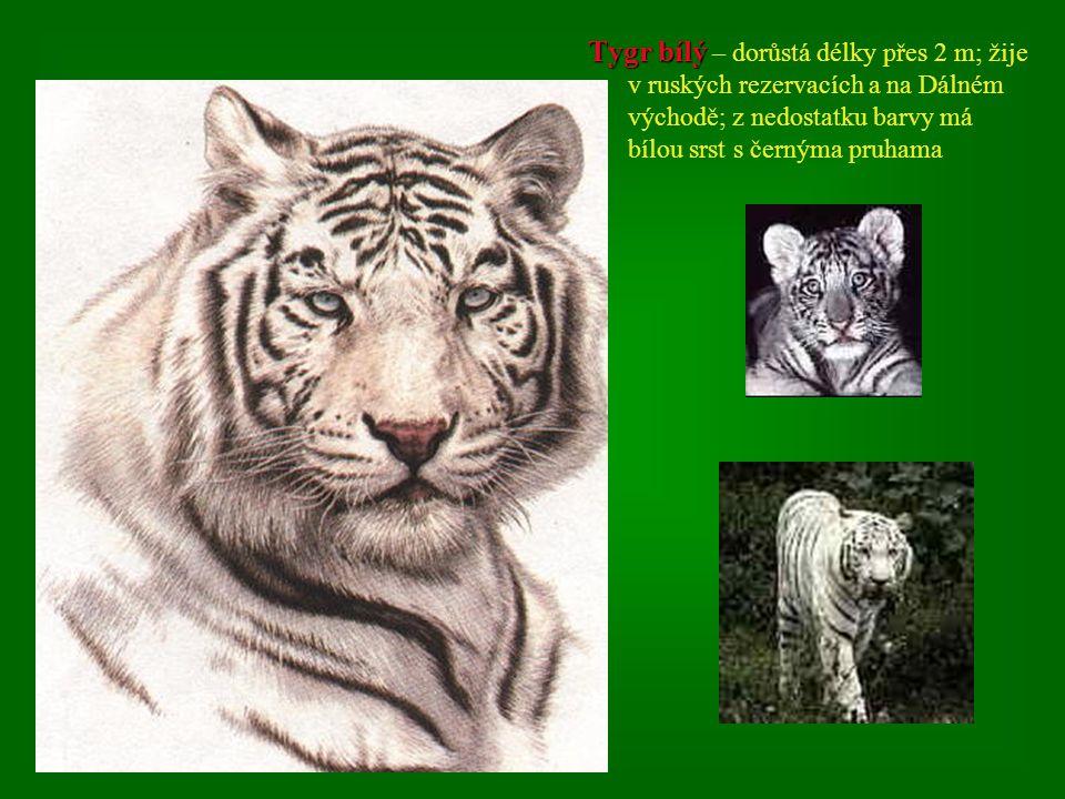2. Tygr džunglový 2. Tygr džunglový – největší žijící kočkovitá šelma; typickou lesní a pralesní šelmou; snáší i mrazy přes –30°C; jeho domovem je Ind