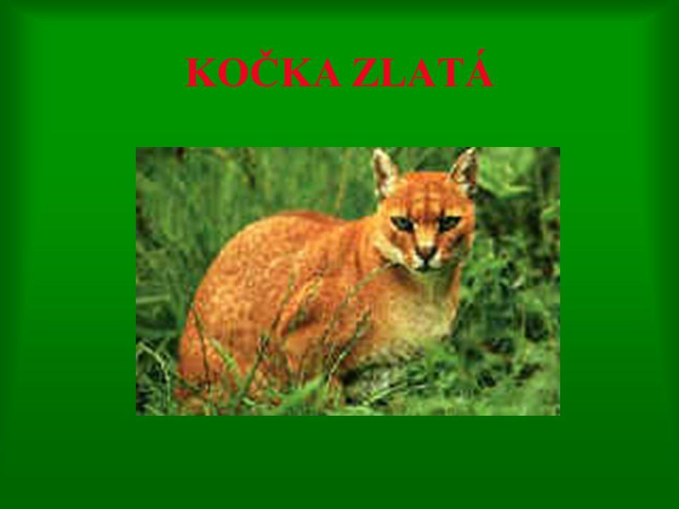 1. Lev masajský 1. Lev masajský – vysoké nohy a krátkou hřívu; snadno si zvyká na zajetí 2. Lev pustinný 2. Lev pustinný – žije ve stepích, savanách h