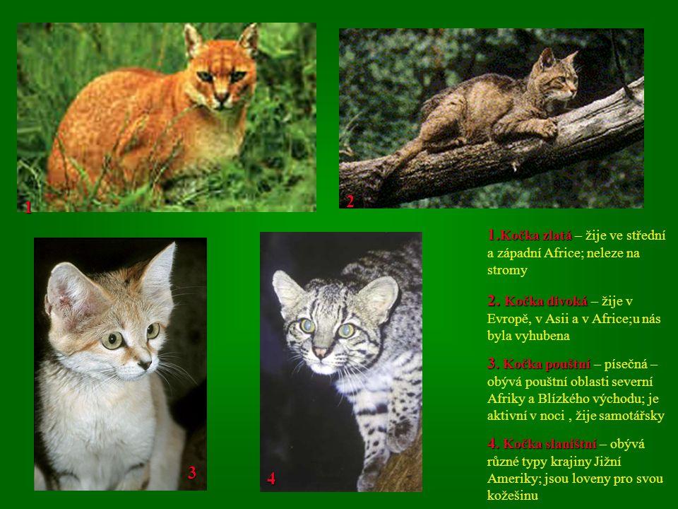 1 2 1.Kočka zlatá 1. Kočka zlatá – žije ve střední a západní Africe; neleze na stromy 2.