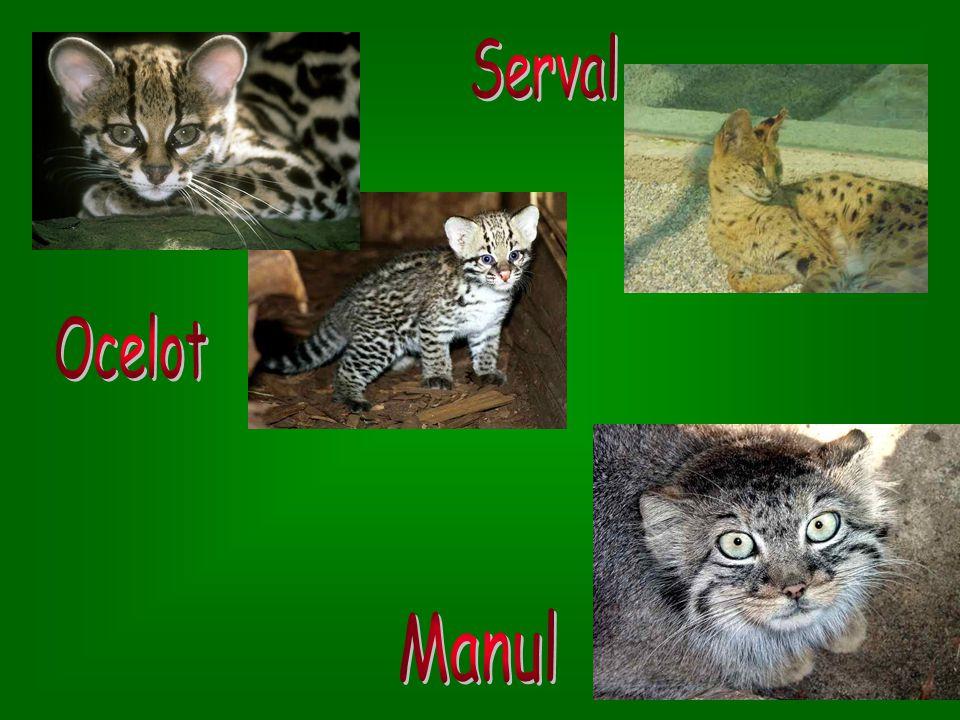 1 2 1. Kočka zlatá 1. Kočka zlatá – žije ve střední a západní Africe; neleze na stromy 2. Kočka divoká 2. Kočka divoká – žije v Evropě, v Asii a v Afr