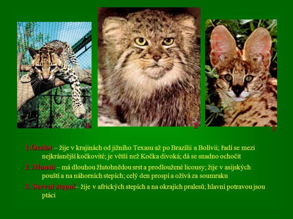 1.Ocelot 1.Ocelot – žije v krajinách od jižního Texasu až po Brazílii a Bolívii; řadí se mezi nejkrásnější kočkovité; je větší než Kočka divoká; dá se snadno ochočit 2.Manul 2.Manul – má dlouhou žlutohnědou srst a prodloužené licousy; žije v asijských pouští a na náhorních stepích; celý den prospí a ožívá za soumraku 3.