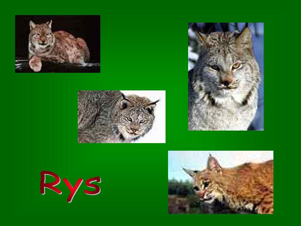 1.Ocelot 1.Ocelot – žije v krajinách od jižního Texasu až po Brazílii a Bolívii; řadí se mezi nejkrásnější kočkovité; je větší než Kočka divoká; dá se