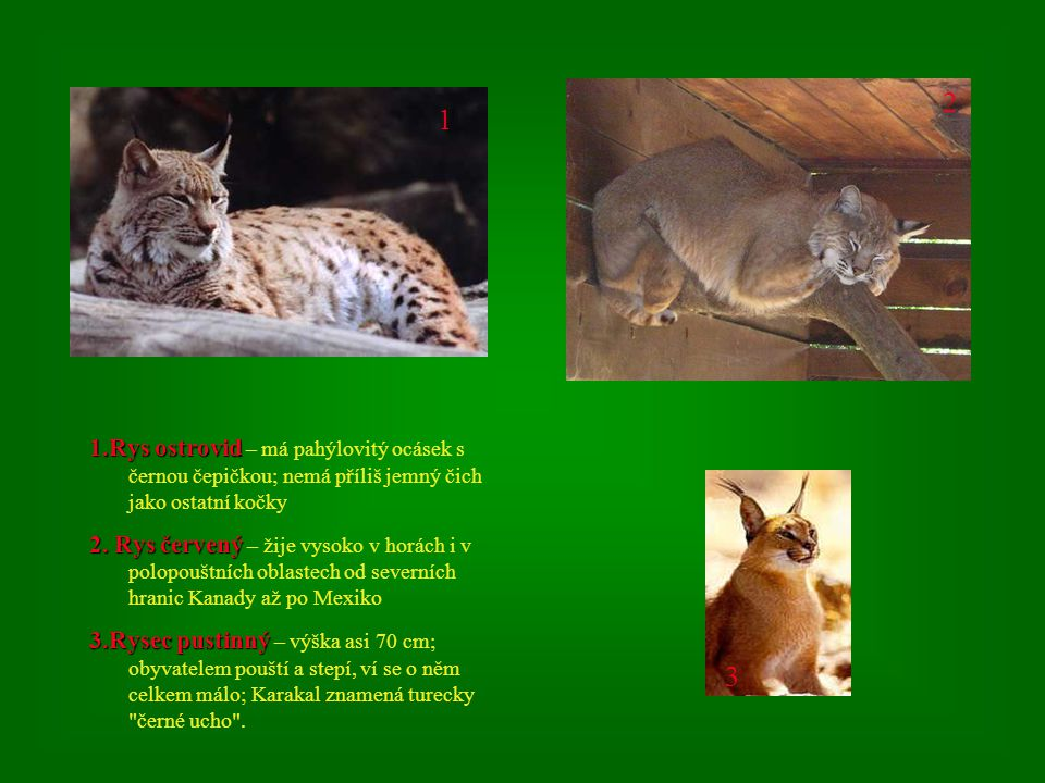 1.Rys ostrovid 1.Rys ostrovid – má pahýlovitý ocásek s černou čepičkou; nemá příliš jemný čich jako ostatní kočky 2.
