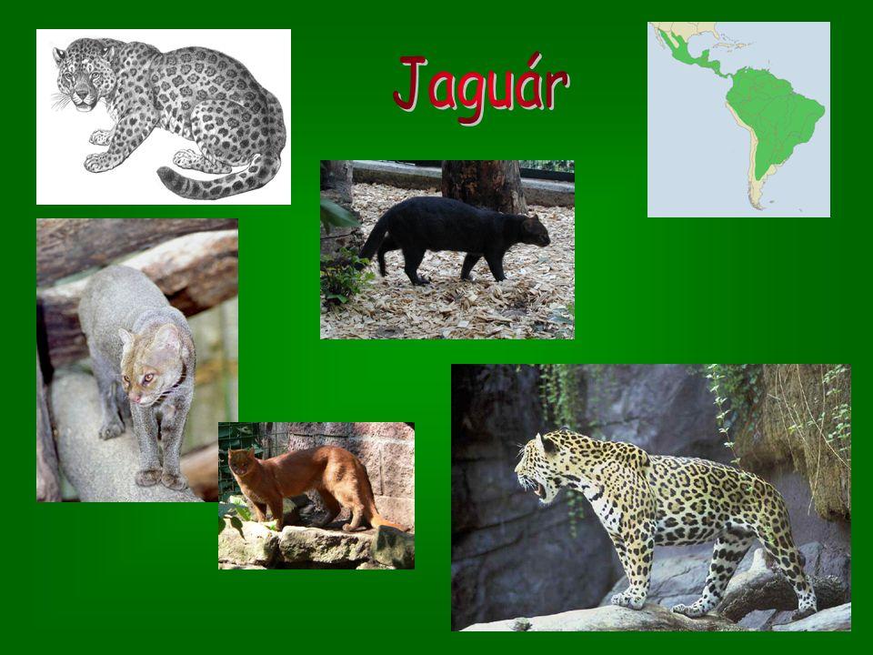 Tygr bílý Tygr bílý – dorůstá délky přes 2 m; žije v ruských rezervacích a na Dálném východě; z nedostatku barvy má bílou srst s černýma pruhama