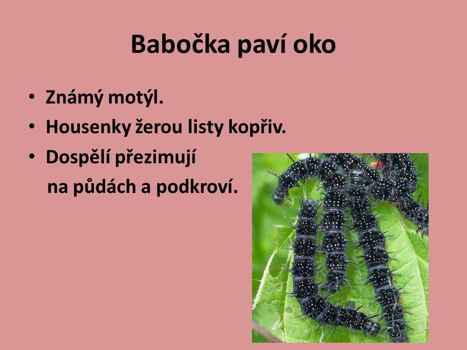 Známý motýl. Housenky žerou listy kopřiv. Dospělí přezimují na půdách a podkroví.