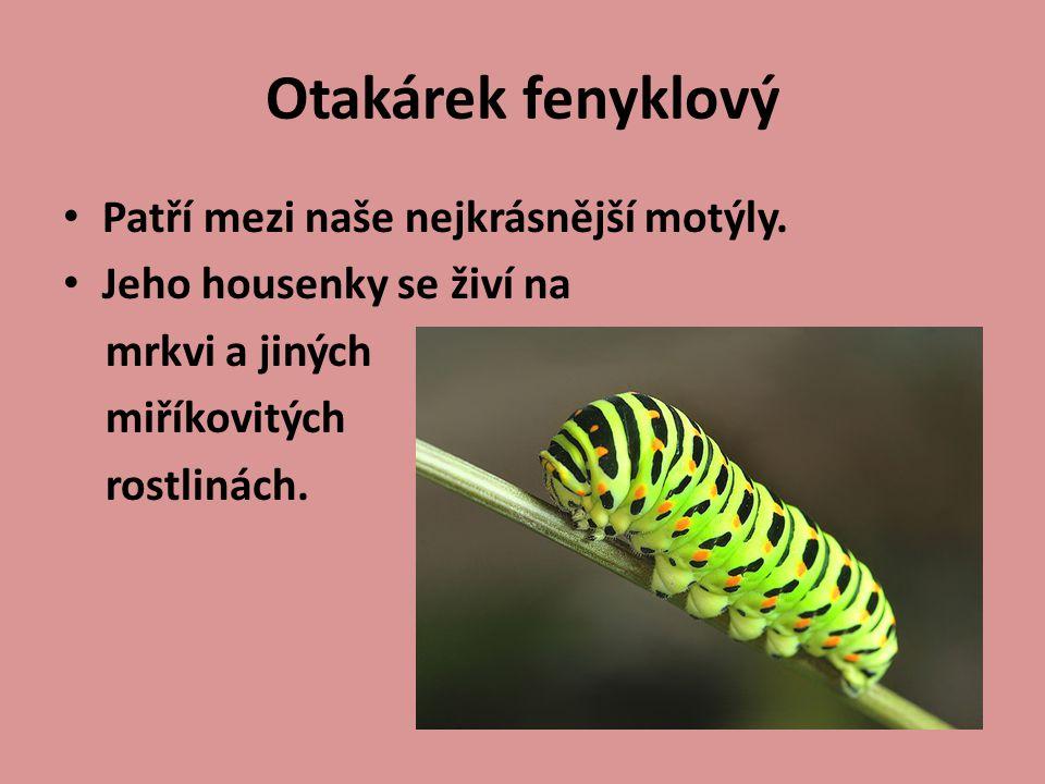 Patří mezi naše nejkrásnější motýly. Jeho housenky se živí na mrkvi a jiných miříkovitých rostlinách.