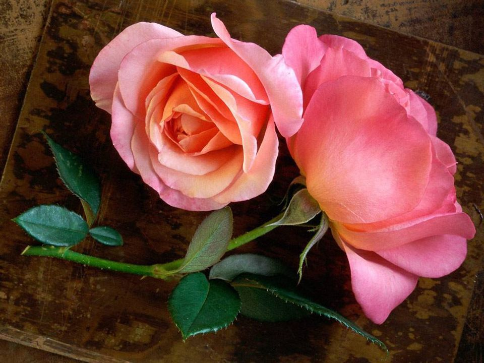 Nezlob se, že růže má trnitý keř, ale raduj se, že trnitý keř má růže.