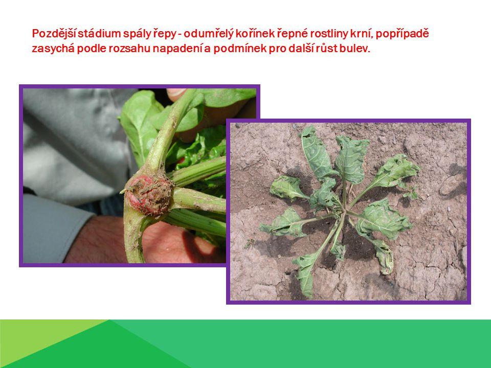 Pozdější stádium spály řepy - odumřelý kořínek řepné rostliny krní, popřípadě zasychá podle rozsahu napadení a podmínek pro další růst bulev.
