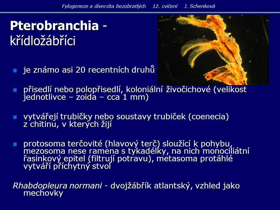 n Holothuria tubulosa sumýš obecný n Cucumaria planci sumýš Plankův Fylogeneze a diverzita bezobratlých 12.