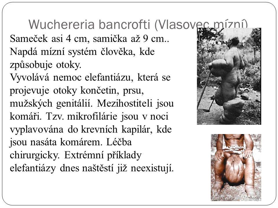 Wuchereria bancrofti (Vlasovec mízní) Sameček asi 4 cm, samička až 9 cm..