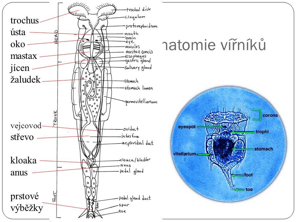 Anatomie vířníků trochus ústa oko mastax jícen žaludek vejcovod střevo kloaka anus prstové výběžky